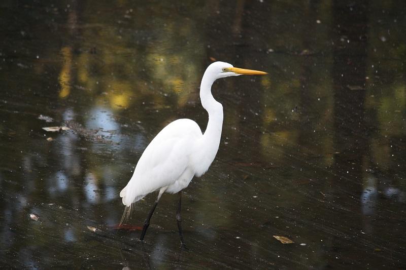 Eastern Great Egret