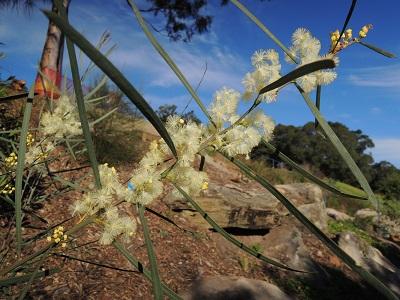 Acacia suaveolen